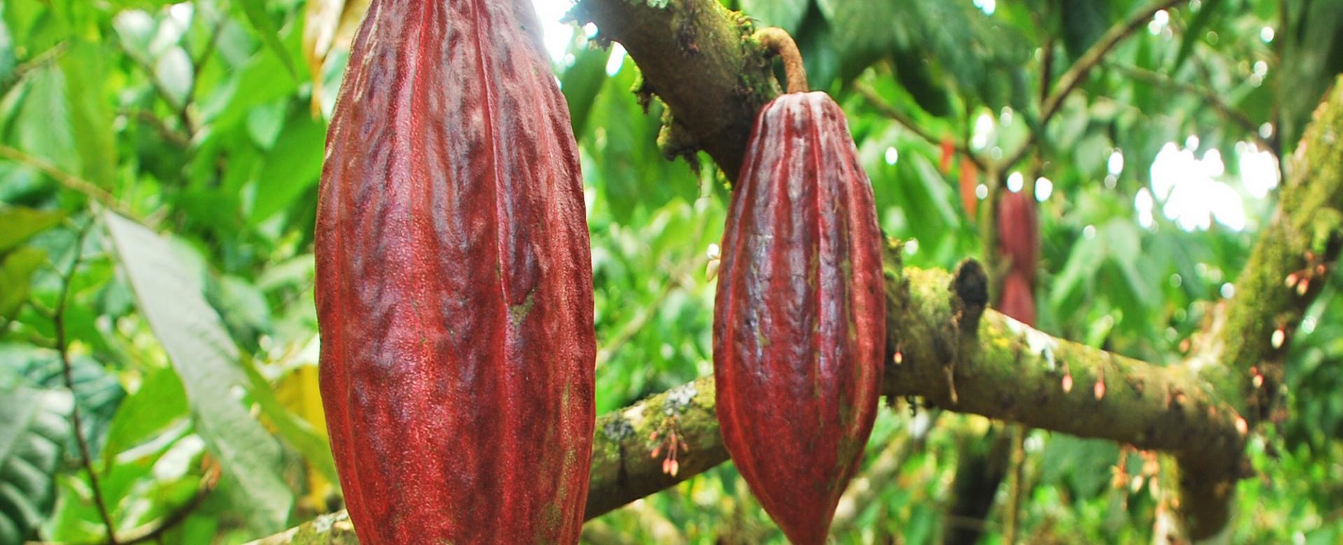 Chocolate farm in Go Cong, Tien Giang